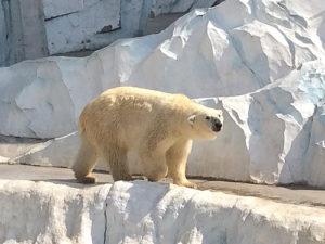 北極熊(ホッキョククマ)