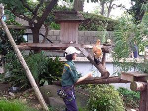 野毛山動物園にいるレッサーパンダです。