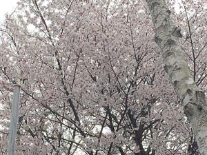高尾山山頂付近の桜