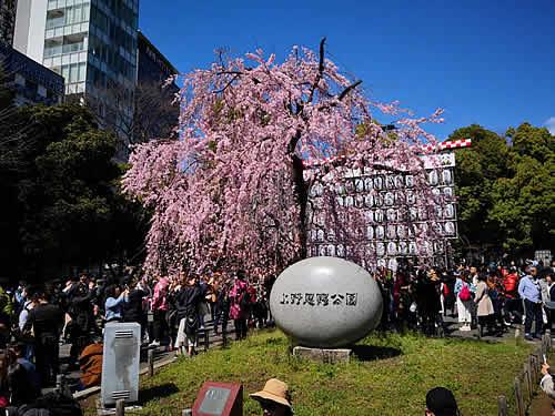 上野恩賜公園の入口にある桜